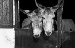 Donkey. 2 donkeys on the farm Stock Images