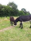Donkey. Donkreys on a meadow Royalty Free Stock Images