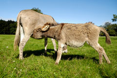 Donkey drinking milk Royalty Free Stock Photography
