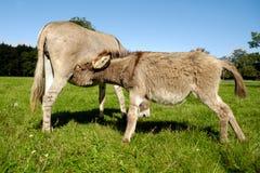 Donkey Drinking Milk Royalty Free Stock Photography