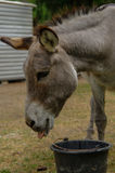 Donkey drinking water out of a bucket Royalty Free Stock Photography
