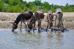 Donkey. Drinking water on river stock images
