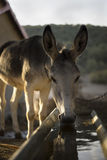 Donkey Drinking Stock Photo