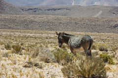 Donkey in Atacama desert stock photography