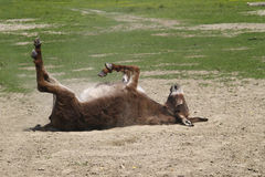 Donkey in the dust. Donkey is bathing in the dust royalty free stock images