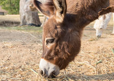 Donkey dwarf brown eating grass Royalty Free Stock Images