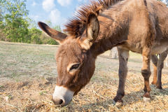 Donkey dwarf brown eating grass Royalty Free Stock Photos