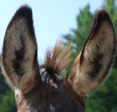 Donkey ears and mane Stock Photo