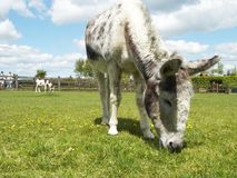 Donkey eating. Grass royalty free stock photography