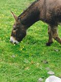 Donkey eating buttercups stock photos