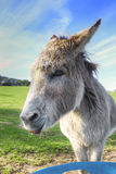 Donkey eating a carrot in the field Stock Image
