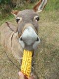 Donkey eating corn Stock Images