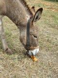 Donkey eating corn Stock Image