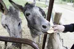 Donkey eating on a farm Stock Images