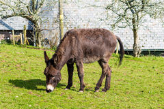 Donkey Eating Stock Images