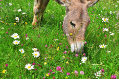 Donkey eating flowers Stock Image