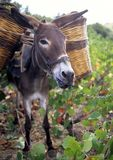 Donkey eating grapes Royalty Free Stock Photos