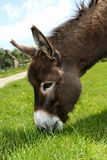 Donkey eating Grass. On a sunny day royalty free stock photos