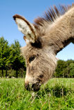 Donkey eating grass Royalty Free Stock Photos