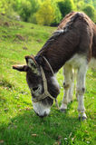 Donkey eating grass. Image of a donkey eating grass near the farm Stock Photography