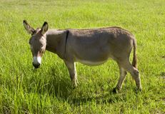 Donkey eating grass. A grey brown donkey or ass grazing on grass in a lush green field Royalty Free Stock Image