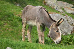 Donkey eating in the grass Stock Photos