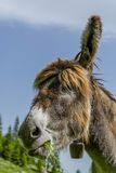Donkey eating grass close up portrait Stock Images