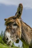 Donkey eating grass close up portrait Royalty Free Stock Photography
