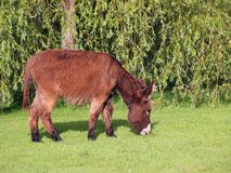 Donkey eating grass Stock Photos