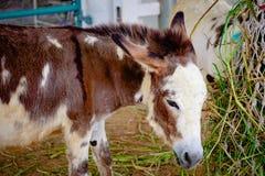 Donkey eating grass Stock Image