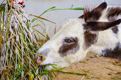 Donkey eating grass Royalty Free Stock Image
