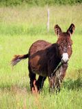 Donkey eating grass in a field Royalty Free Stock Photos
