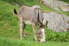 Donkey eating grass in the field Stock Images