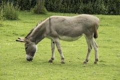 Donkey Eating Grass Stock Photography