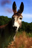 Donkey eating grass Royalty Free Stock Photography