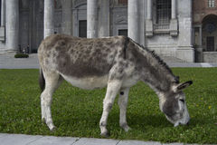 Donkey eating Royalty Free Stock Photos
