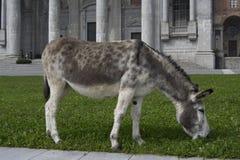 Donkey eating Royalty Free Stock Photos