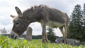 Donkey Eating Grass. Taken at the Donkey Sanctuary of Canada Royalty Free Stock Image