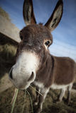 Donkey eating hay. Funny vertical closeup fisheye portrait of miniature donkey eating hay outdoors Stock Photos