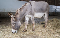 Donkey Eating Royalty Free Stock Photo