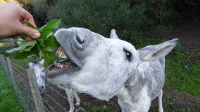 The donkey eating Stock Images