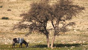 Donkey Eats the Grass Under the Lonely Tree stock video footage
