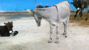 A donkey eats hay from a feeder. A donkey eats hay from a feeder on a farm stock footage