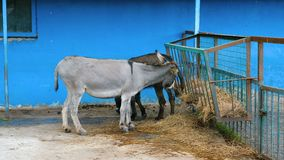A donkey eats hay from a feeder. A donkey eats hay from a feeder on a farm stock video footage