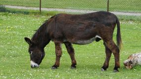 Donkey in an English meadow 2a. On a beautiful summer day royalty free stock image