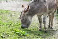 Donkey enjoy eating Stock Photography