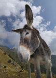 Donkey, Equus africanus asinus Stock Photo