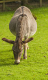 Donkey ( Equus africanus asinus ). Donkey is a Member of the Equidae or Horse Family Royalty Free Stock Photography