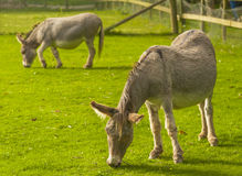 Donkey ( Equus africanus asinus ). Donkey is a Member of the Equidae or Horse Family Stock Image