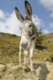 Donkey, Equus africanus asinus. Front view of a donkey, Equus africanus asinus Stock Photos